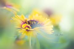 Glow (Jacky Parker Flower Photography) Tags: flower yellow gazania blanketflower summerflowering summer bedding floatypetals floralart beautyinnature freshness summergarden summerflower horizontalformat closeup