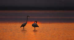 Greater Flamingo (Zahoor-Salmi) Tags: zahoorsalmi salmi wildlife pakistan wwf nature natural canon birds watch animals bbc flickr google discovery chanals tv lens camera 7d mark 2 beutty photo macro action walpapers bhalwal punjab