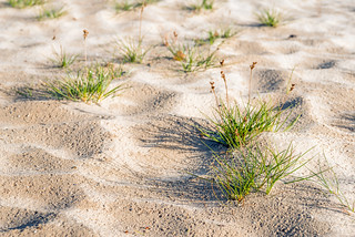 Grasses in the sand