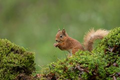 Red squirrel (Sciurus vulgaris) (Steven Whitehead) Tags: redsquirrel red squirrel squirrels woods green feeding mammals wildlife wild nature canon canon5dmk4 500mm 500mmf4 500mmf4is canon500mm scotland 2017