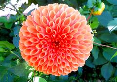 un des derniers Dahlia en fleur pour cette saison ! (jeanpierrefrey) Tags: jardindelapaix bitche moselle grandest
