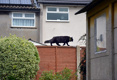 Black and red (Happy Caturday!) (Caulker) Tags: black cat vaska pet redfence garden
