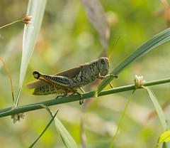 Grasshopper (arlene sopranzetti) Tags: grasshopper melanoplus differentialis differential