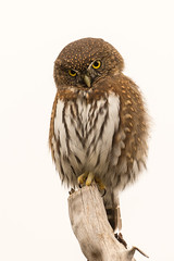 Northern Pygmy-Owl (Melanie Leeson) Tags: northernpygmyowl birdsofbritishcolumbia melanieleesonwildlifephotography birds birdsofcanada glaucidiumgnoma blingsister birdsofnorthamerica owls httpswwwmelanieleesonphotographycom melanieleesonphotographycom