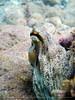 Octopus vulgaris (Terzacentro) Tags: chicco caroli francesco terzacentro genova genoa lido corso italia mare sub apnea foto safari photo estate 2017 sony mpk wh dsc wx100 octopus vulgaris polpo porpo zeneixe