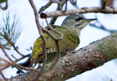 Седой дятел / Picus canus / Grey-headed woodpecker / Сив кълвач / Grauspecht