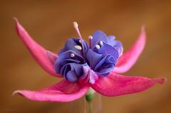 271 365 2017 Fuschia (friiskiwi) Tags: fuchsia singleflower