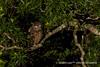 黃魚鴞 IMG_2056 (sullivan™) Tags: canoneos7dmarkii ef400mmf56lusm adobephotoshoplightroom5 animal bokeh dof newtaipeicity nature suhaocheng taiwan ketupaflavipes 浩子 新北市 野生鳥類 二次構圖 裁切 格放 第二級珍貴稀有保育類 sullivan 黃魚鴞 黃腿漁鴞 魚木兔 毛腳魚鴞 第二級保育類 稀有留鳥 貓頭鷹 tawnyfishowl 魚堀溪 烏來 新店 坪林 石碇 福山 翡翠水庫 南勢溪 北勢溪 桶後溪 大羅蘭溪 平廣溪 金瓜寮溪 姑婆寮溪 魚逮魚堀溪 逮魚堀溪