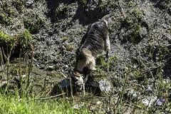 Thirsty Goat (carolienvanhilten) Tags: garmisch partenkirchen kreuzeckbahn mountains bavaria bayern beieren bergen deutschland germany duitsland cablecars kabelbaan seilbahn butterfly flowers