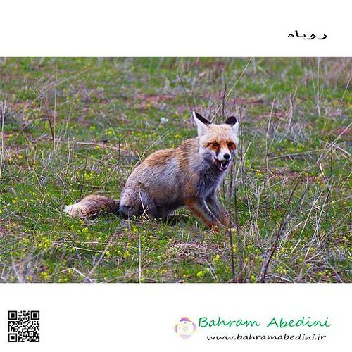 شاهروباه یا روباه افغانی حیوانی است از جنس روباهان (Vulpes)، که در علفزارهای کوهستانی افغانستان و ایران و برخی نقاط دیگر خاورمیانه زندگی میکند. جثهٔ آن کمی کوچکتر از روباه معمولی است و بر روی صورت، دو نوار سیاه و مشخص دارد که از چشمها به طرف بیرون امت