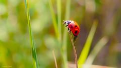 LadyBug (YᗩSᗰIᘉᗴ HᗴᘉS +7 000 000 thx❀) Tags: bug lady ladybug insect bokeh bokehlicious beyondbokeh macro nature hensyasmine