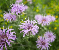 BEE BALM (EXPLORED) (Rob Patzke) Tags: purple bokeh lumix lx100 balm nature color