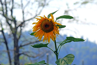 Friday Sunflower for you!