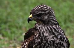 I think I have a pet hawk DSC_8093 (blthornburgh) Tags: thornburgh tampa florida nature backyard bird birdofprey raptor feathers pattern closeup hawk redshoulderedhawk