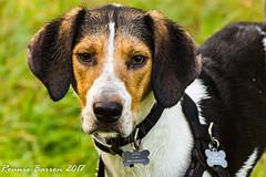 sometimes (RCB4J) Tags: ayrshire jakob loudonhill rcb4j ronniebarron scotland sonyslta77v art babygrace dogs photography play playing running siameselurcher trailhound portrait face tricolour