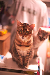 feed us? (n.a.) Tags: kitchen 5md bamboo bengal cat pickle snow cats