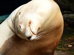 Sea lion (STEHOUWER AND RECIO) Tags: sea lion sealion otariinae zeeleeuw animal fauna relax relaxing enjoy enjoying sun sunshine life face chill chilling fuji fujifilm sl1000 海獅 seelöwe otarie θαλάσσιολιοντάρι singalaut otaria 강치 leomare 海驢 leónmarino lewmorski морскойлев morskilav leãomarinho אֲרִיהַיָם leonfarraige giốnghảithát สิงโตทะเล pose