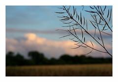 concentration (ralfdaenicke) Tags: sonnenuntergang sundown summer sommer felder fields himmel sky silhouette schatten schärfentiefe bokeh pentax k3 bretagne brittany plomeur france frankreich urlaub holidays vacation abend abendstimmung evening clouds wolken zweige branches