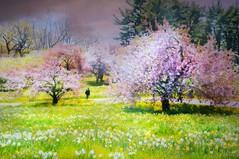 I Still Believe (floralgal) Tags: nybg cherrytrees newyorkbotanicalgardens newyorkbotanicalgardensatspring bronxnewyorklandscape floweringtrees park nature springatnybg