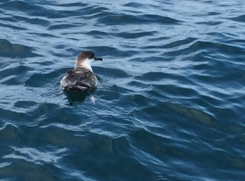 Shearwater, Bay of Fundy