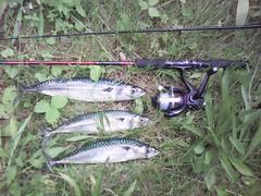 Mackerel - an amazing morning catching mackerel 23 Aug 2017 (ecology_garden) Tags: