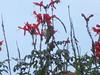 Cinnyris venustus ♀ (Luis G. Restrepo) Tags: p2510548 suimangavariable variablesunbird cinnyrisvenustus bird ave tanzania africa nectariniidae passeriformes