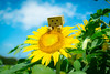 Tateyama city / Canon EOS60D:SIGMA Art 30mm F1.4 DC HSM (telenity) Tags: japan tateyama sigma sunflower flower danboard amazon mini landscape summer 日本 館山 風景 夏 ひまわり ダンボー アマゾン ミニ