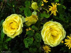 Pair of roses (Naturescrack) Tags: sanjosé antioquia colombia roses rosas flower flor naturaleza nature nikon nikkor