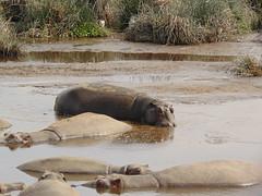DSC00445 (francy_lioness) Tags: safari jeep animals animali ippopotami leone savana gnu elefante iena pumba tanzaniasafari ngorongorocratere gazzella antilope leonessa lioness facocero