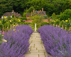 Sage in full bloom (Tim Ravenscroft) Tags: chartwell sage flowers garden gardenincbotanical england hasselblad x1d hasselbladx1d path