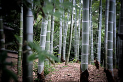 Letting the Mind Wander Amid the Bamboo (Rekishi no Tabi) Tags: tokyo japan newotanihotelgarden kioicho bamboo t