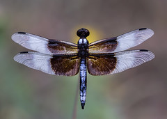 Widow Skimmer Dragonfly (Inge Vautrin Photography) Tags: widowskimmerdragonfly dragonfly insects insect animal animalplanet invertebrates closeup oklahoma usa sitting small wings yellow
