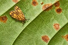 Arctiinae Moth (Barsine euprepioides), Singapore (singaporebugtracker) Tags: singaporebugtracker yellowmoth beautifulmoth leaf mothsofsingapore artistic patterned leafspots orangerust barsineeuprepioides arctiinae erebidae woollybears