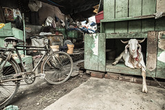 happy goat (Giulio Giuliani) Tags: goat india market bike