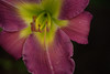 DSC09346 -1purpleYellowLily (FanzFlames) Tags: lilies coneflowers blackeyedsusan sunflower butterflyweed clematis iris