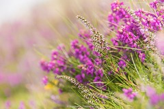 Heather (frattonparker) Tags: btonner bokeh depthoffield flowersplants isleofwight lightroom6 nikond810 raw summer tamron28300mm wildflower calluna erica gorse grass ling