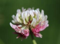 Klee (LuckyMeyer) Tags: sommer summer klee blume blüte makro flower fleur green white rosa garden garten natur nature