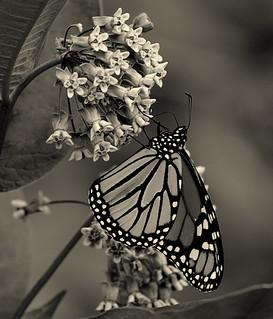 Monarch..........Explored