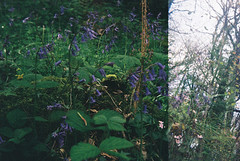Woods 5 (avenwildsmith) Tags: film 35mm nature devon countryside analog analogue kodak retinette 1b grain england britain wild wilderness flower flowers wildflower wildflowers bluebell bluebells double exposure purple woods forest plant plants 35mmfilm kodakretinette1b