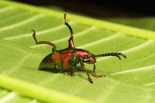 Frog-legged Leaf Beetle (Sagra cf. femorata, Chrysomelidae)
