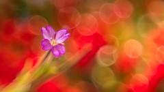 Artistic Flower (YᗩSᗰIᘉᗴ HᗴᘉS +8 500 000 thx❀) Tags: meyer optik trioplan sonyilce7 sony art artistic dream color bokeh bokehlicious beyondbokeh macro red flower flora fleur hensyasmine hbw