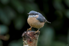 Eurasian Nuthatch  -  Kleiber (Explore 09/12/17) (CJH Natural) Tags: eurasiannuthatch nuthatch kleiber garden garten bird nature natural avian vogel perch bokeh nikon d500 wild wildlife sit stump treestump