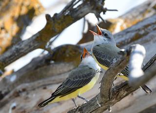 Hungry Western Kingbird Chicks - 3894b+