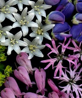 58393.05 Hyacinthoides hispanica, Lupinus perennis, Lychnis flos-cuculi, Dicentra eximia
