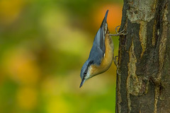 Nuthatch (Bojan Ž.) Tags: nuthatch sittaeuropaea bird animal wildlife nature blue green orange red eye fauna colorful depthoffield wing abstract color outdoor park water white wild avian beautiful birding space long amazing blur broun exotic fascinant fast flight freedom enviromant perching stick sunlight tailed head lovely canoneos7dmarkii ef600mmf4lisusm canon 7d eos 600mm birdwatcher