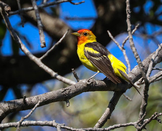Western Tanager Inceville Los Liones Canyon Los Angeles  133