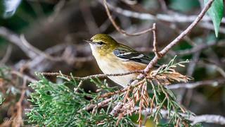 Bay-breasted Warbler [Explored]