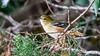 Bay-breasted Warbler [Explored] (Bob Gunderson) Tags: baybreastedwarbler birds california fortmason northerncalifornia sanfrancisco setophagacastanea warblers woodwarblers