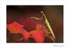 Mantes religieuse (Mantis religiosa) (www.olivierfarcyphotographie.com) Tags: mantereligieuse mantisreligiosa insecte invertébré bretagne photo nature canon loireatlantique