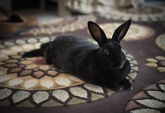 DSC05462 (Twinmama) Tags: rabbit bunny bunnies rabbits